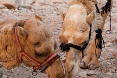 Kamele vor dem Schatzhaus in Petra