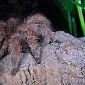Nhandu vulpinus
